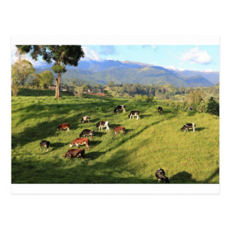 Holstien friesian dairy cow herd grazing in meadow postcard