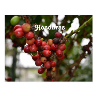 Honduras Coffee Beans Postcard