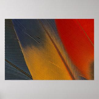 Honduras. Endangered scarlet macaw feathers, Poster