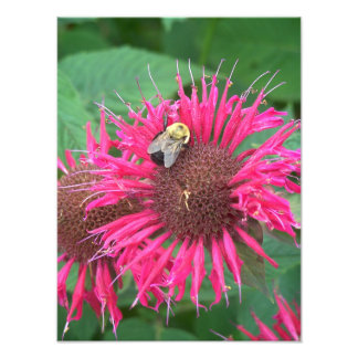 Honey Bee and Pink Bee Balm Flower Photograph