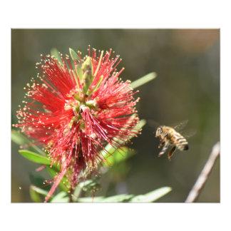 HONEY BEE & BOTTLE BRUSH FLOWER IN RURAL AUSTRALIA PHOTO ART