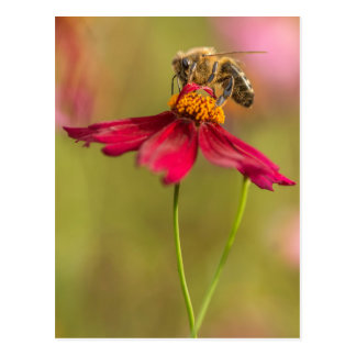 Honey bee on a coreopsis flower postcard