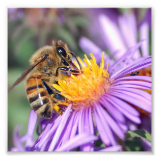 Honey Bee on Purple Pink Flower Photograph