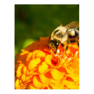 Honey Bee  Orange Yellow Flower With Pollen Sacs Postcard