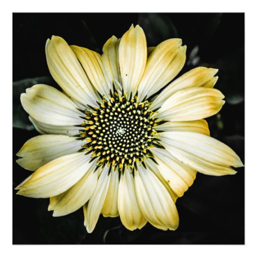 Honey Blossom Yellow Coneflower Photo Art