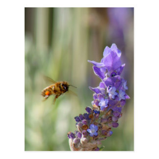 Honeybee on Lavender Postcard