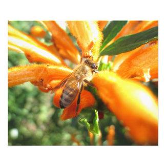 Honeybee on Lion's Tail Flower Photo Print