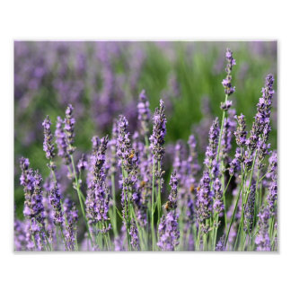 Honeybees on Lavender Flowers Art Photo