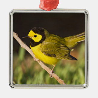 Hooded Warbler Wilsonia citrina) adult, male, Silver-Colored Square Decoration