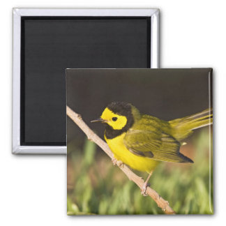 Hooded Warbler Wilsonia citrina) adult, male, Square Magnet