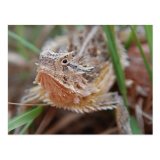 Horned Lizard Postcard
