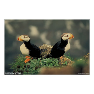 Horned Puffins Poster
