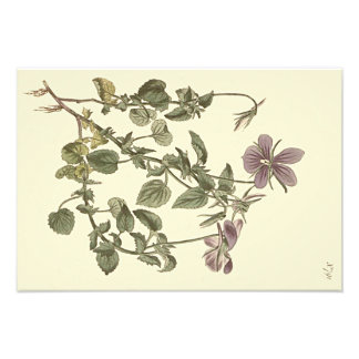 Horned Violet Botanical Illustration Art Photo