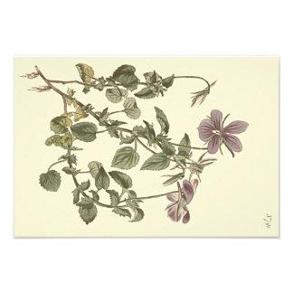 Horned Violet Botanical Illustration Photo Print