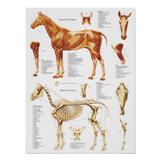 Horse Anatomy Poster Muscles and Bones 18 X 24
