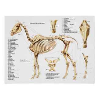 Horse Anatomy Skeleton Poster