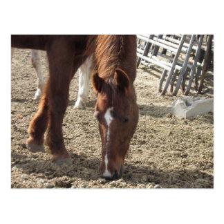 Horse Browsing Postcard