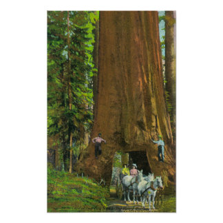 Horse Carriage Under a Giant Redwood Poster