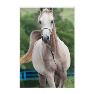 horse collection. arabian gray acrylic wall art