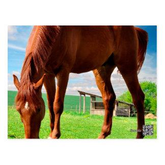 horse eating grass postcard