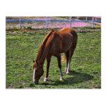 Horse Grazing Postcard