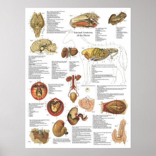 Horse Internal Organs Anatomy Brain Stomach Chart