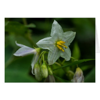 Horse Nettle White Wildflower Floral Card