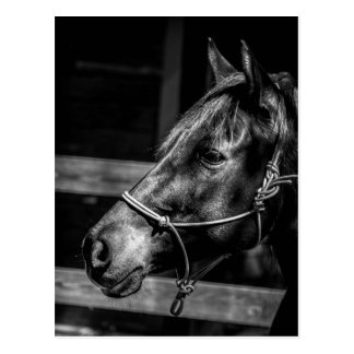 Horse Profile Postcard