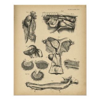 Horse Reproductive Anatomy 1908 Vintage Print