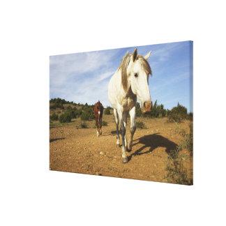Horses, Aude, Languedoc-Roussillon, France Canvas Print
