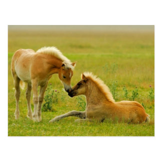 Horses foals in field. postcard