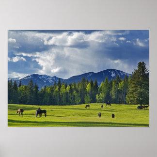 Horses graze in pasture near Whitefish, Poster