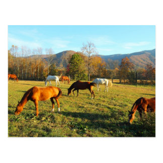Horses in Cades Cove - Great Smoky Mtns Postcard