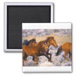 Horses running fridge magnets