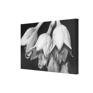 Hosta Flowers - Black And White Canvas Prints