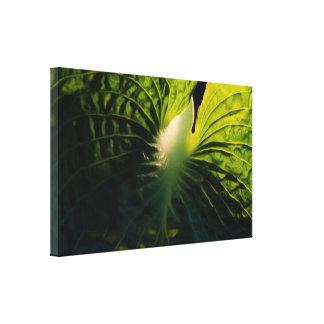 Hosta Leaf on Black Stretched Canvas Print