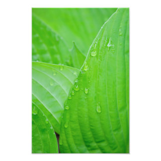 Hosta Leaves and Water Droplets Photo Print