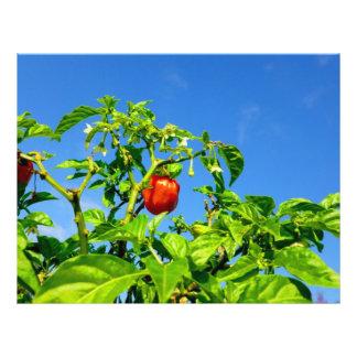 hot peppers on plant sky back 2 custom flyer