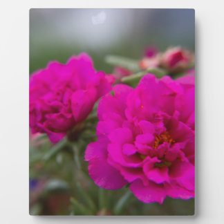 Hot pink begonia flowers plaques