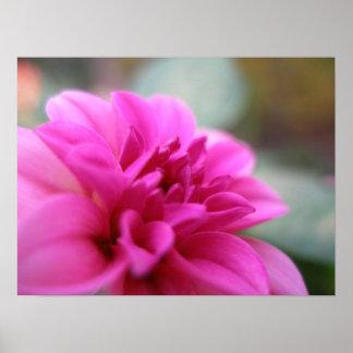 Hot Pink Dahlia Poster