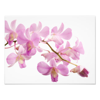 Hot Pink Dendrobium Orchid Flower Orchids Template Photo Print
