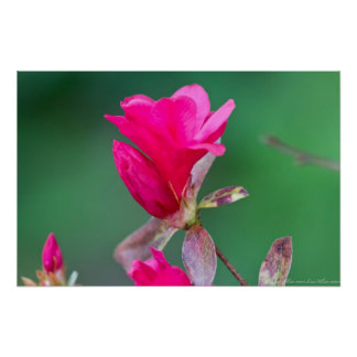 Hot Pink Flowering Quince Blossom Poster