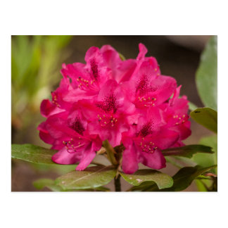 Hot Pink Rhododendron Floral Flowers Postcards