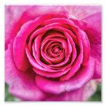 Hot Pink Rose Photograph