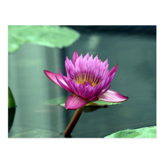 Hot Pink Water Lily Post Cards
