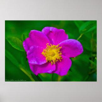 Hot Pink Wild Rose Wildflower Poster