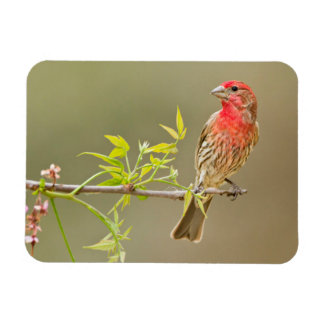House Finch (Carpodacus Mexicanus) Male Perched Rectangular Photo Magnet