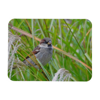 House Sparrow on Pampas Grass Magnet