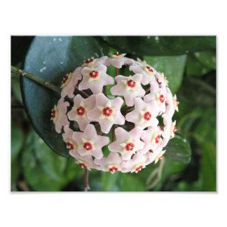 Hoya Wax Plant Globe Red and White Stars Nature Photo Print