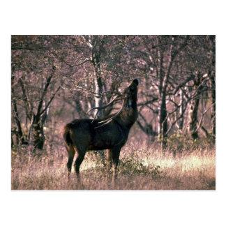 Huge stag browsing postcard